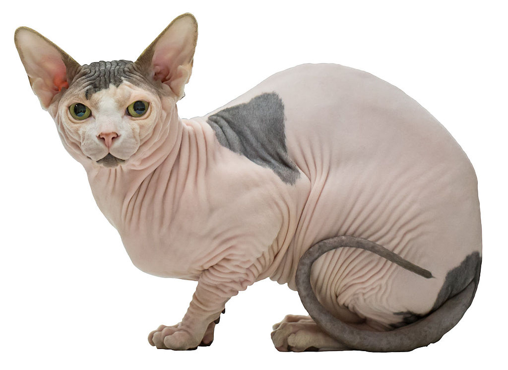 Außergewöhnliche Katzenarten