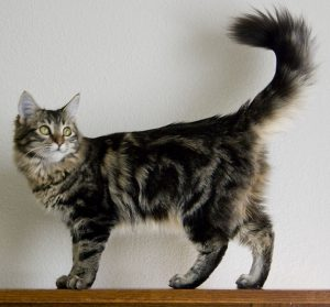 Tabby_Main_Coon_cat